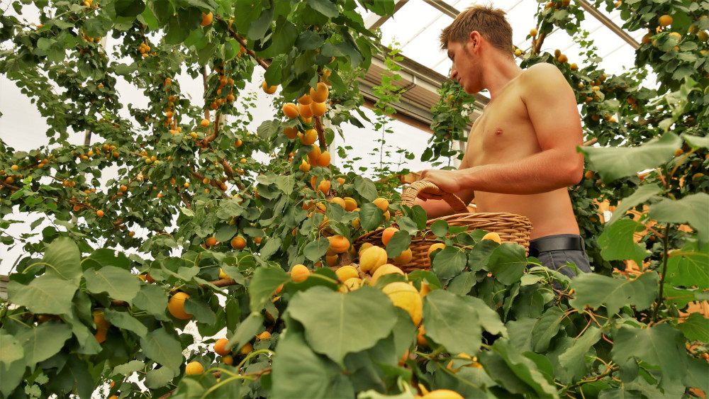 Felix picking apricots